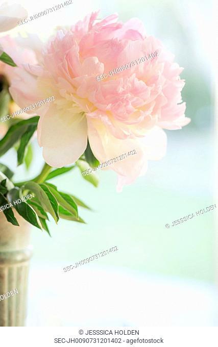 Close-up of pink flower in vase