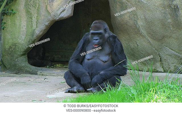 Female Western Lowland Gorilla gets embarrassed