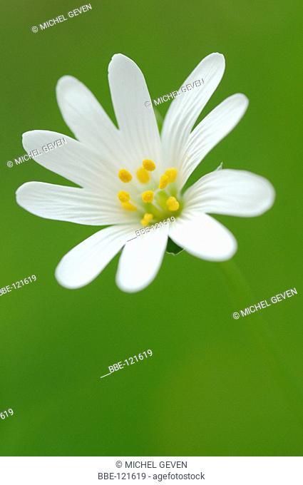 Flowering Greater Stitchwort, detail of one flower