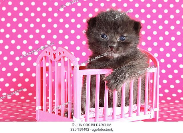 domestic cat - kitten in bed