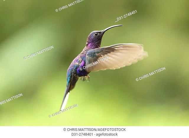Violet Sabrwing Hummingbird, Campylopterus hemileucurus, male, Costa Rica