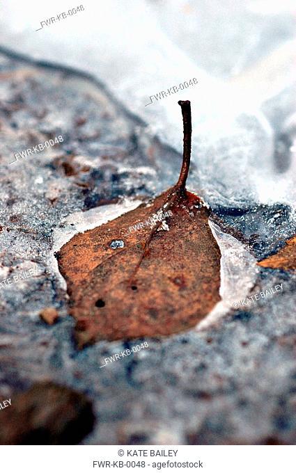 Betula pendula, Birch - Weeping birch