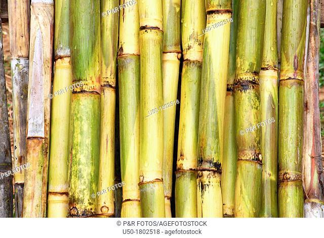 Sugar cane stems  2012