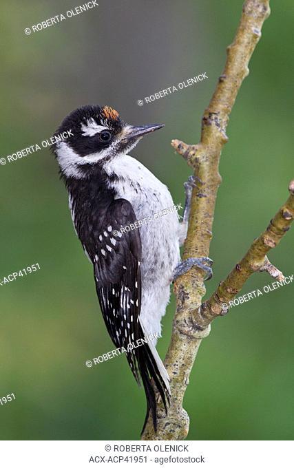 Hairy woodpecker  Picoides villosus, juvenile, Lac Le Jeune, British Columbia, Canada