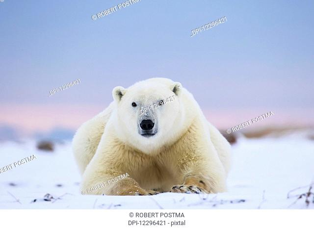 Polar bear (ursus maritimus) along the Hudson Bay coastline waiting for the bay to freeze over; Churchill, Manitoba, Canada
