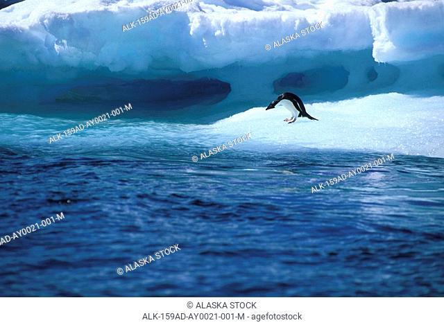 Adelie Penguin on Iceberg Looks into Water Antarctica