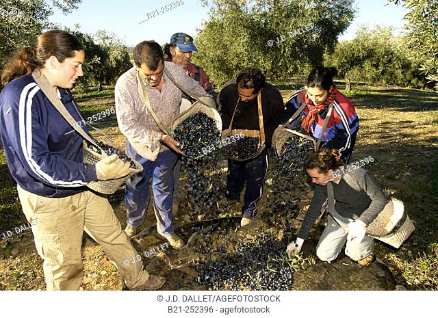 Olives harvesting at Baena. Córdoba province. Spain