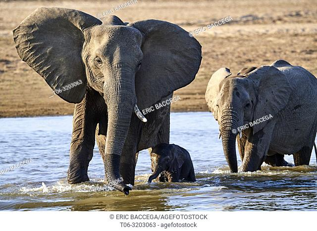 African elephant mother protecting her tiny calf while crossing Luangwa river (Loxodonta africana), South Luangwa National Park, Zambia