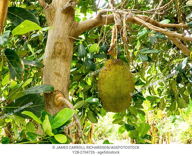 Jack fruit in Maui botanical garden