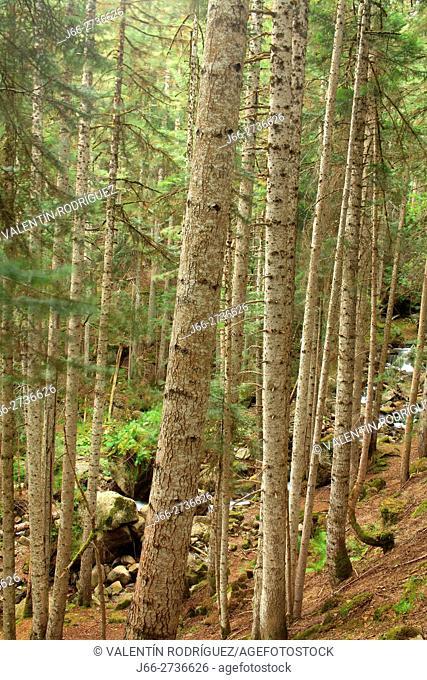 Fir forest (Abies alba) La Mata de Valencia. National Park Aigüestortes and lake San Mauricio. Lérida