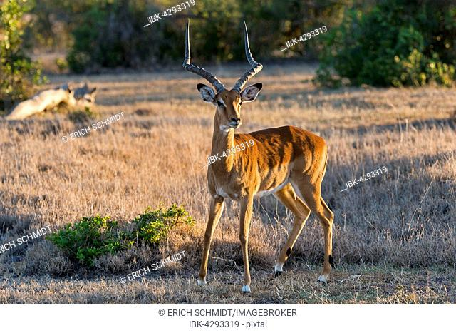 Impala (Aepyceros melampus), Ol Pejeta Reserve, Kenya