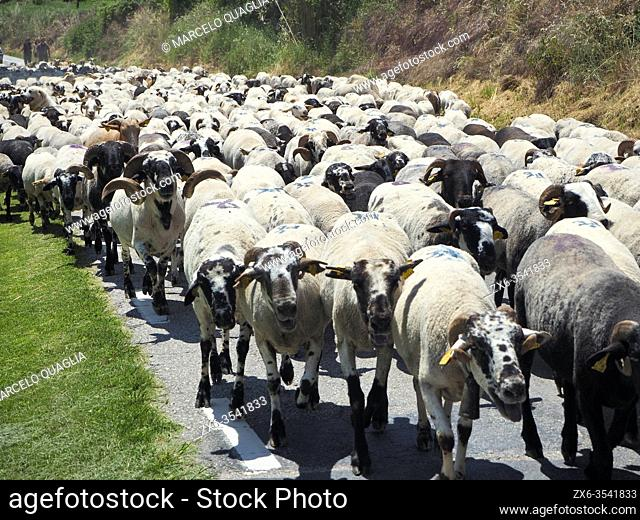 Flock of sheep during their transhumance. Sant Martí d 'Albars village countryside. Lluçanès region, Barcelona province, Catalonia, Spain