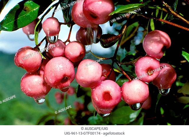 Narrow-leaved lillipilli edible fruit, Eastern Australia