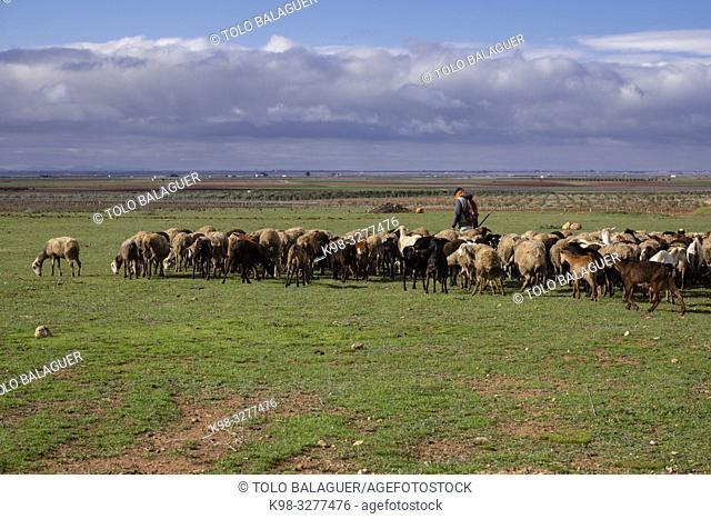 pastor con su rebaño, Campo de Criptana, provincia de Ciudad Real, Castilla-La Mancha, Spain