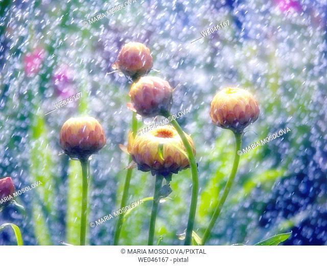 Strawflowers under the rain. Helichrysum breacteatum. July 2004, Maryland, USA