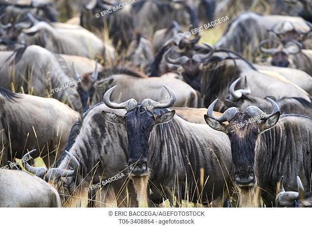 Eastern white-bearded wildebeest herd (Connochaetes taurinus). Masai Mara National Reserve, Kenya