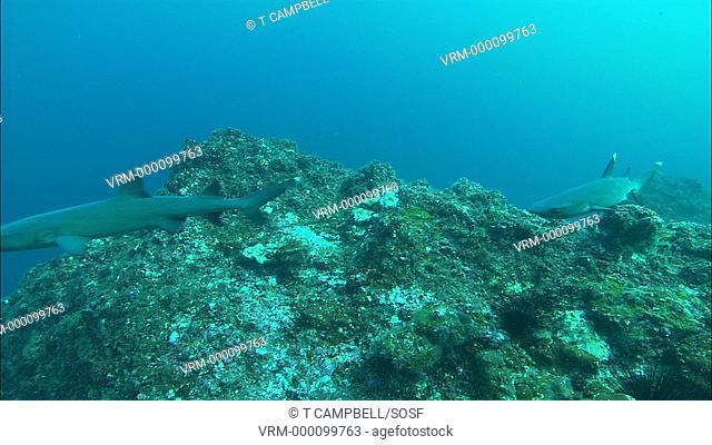 Whitetip reef shark Triaenodon obesus swim over reef. Costa Rica