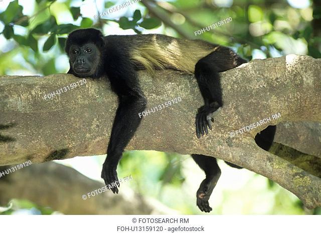 design mantled howler monkey alouatta palliata