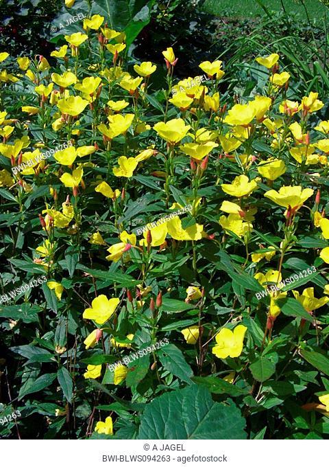 Sundrops, Narrow-leaved sundrops, Golden sundrops, Narrowleaf evening-primrose, Shrubby sundrop Oenothera fruticosa, Oenothera tetragona, flower