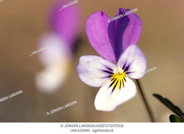 Pansies (Viola tricolor). Småland. Sweden