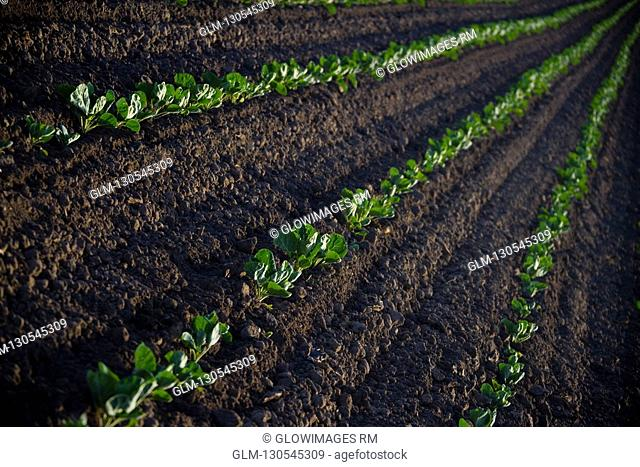 Vegetables in a field, California, USA