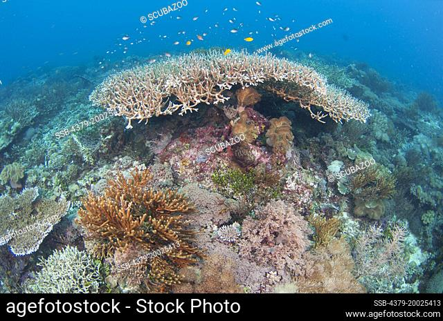 A large Acropora table coral, with other corals in the foreground, Taliabu Island, Sula Islands, Indonesia