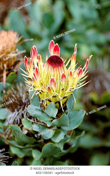 Broad-leaved Sugarbush (Protea eximia), fynbos flora. Helderberg Nature Reserve, Western Cape, South Africa