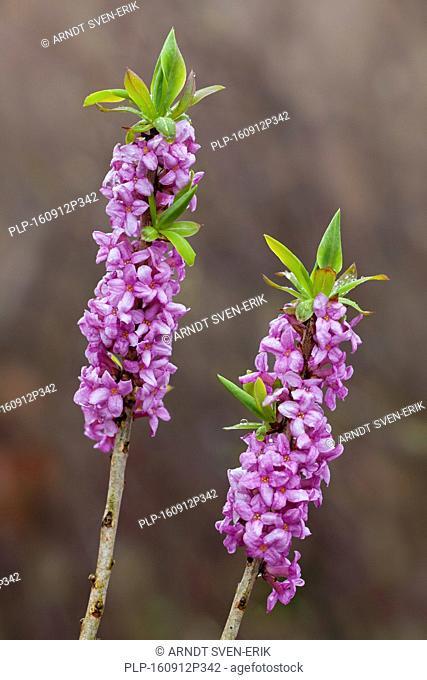 February daphne / mezereon / spurge laurel (Daphne mezereum) flowering in spring