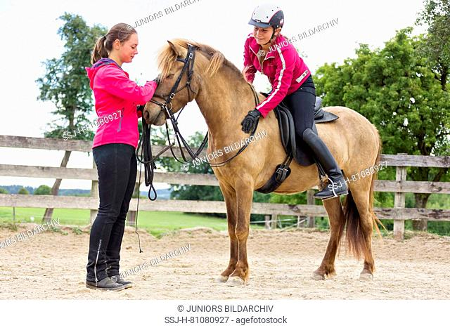 Icelandic Horse. Training of a young mare. It learns to accept bridle, saddle and rider. Austria