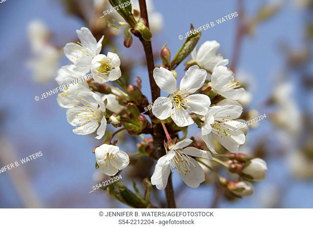 Blossoms on a cherry tree in the spring