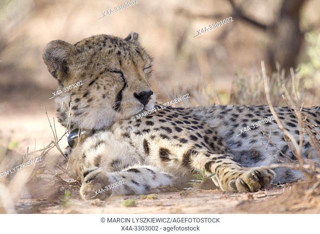 Resting male cheetah, Okonjima Nature Reserve, Namibia
