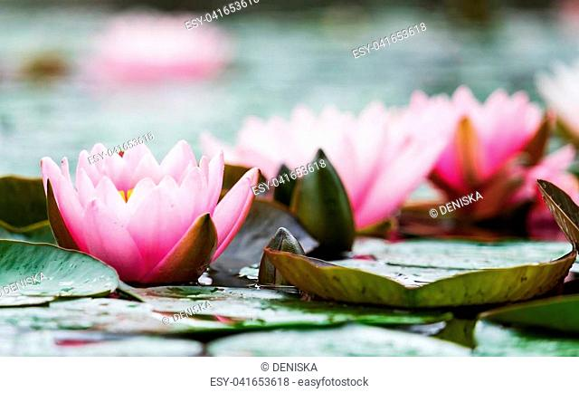 Beautiful pink nenuphar in the water close-up