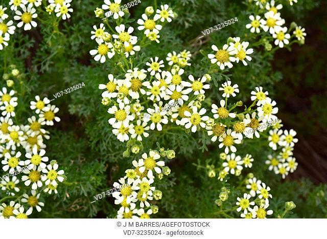Margarita de la costa (Bahia ambrosioides) is a subshrub endemic to Chile. Flowering plant