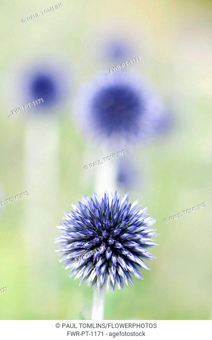Globe Thistle, Echinops ritro 'Veitch's blue', A single flower not yet open with others behind in soft focus
