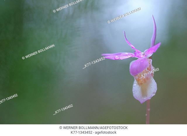 Calypso Orchid (Calypso bulbosa), Oulanka National Park , Finland, June 2010