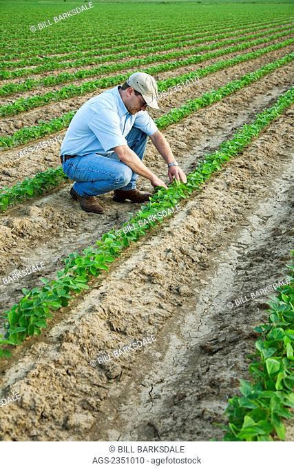 Agriculture - A farmer (grower) inspects his early growth crop of soybeans / Northeast Arkansas, USA