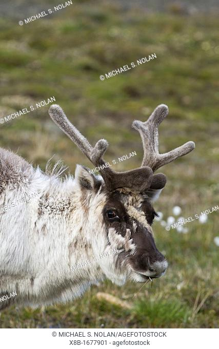 Adult Svalbard reindeer Rangifer tarandus platyrhynchus grazing within the town limits of Longyearbyen on Spitsbergen in the Svalbard Archipelago, Norway