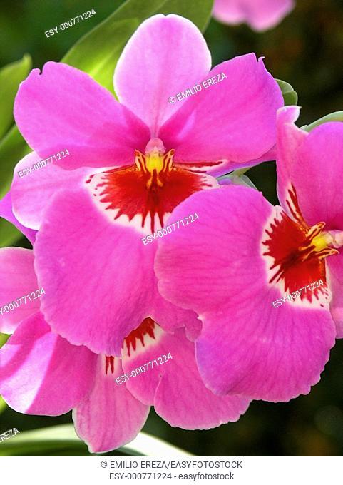 Orchid Miltonia hybr