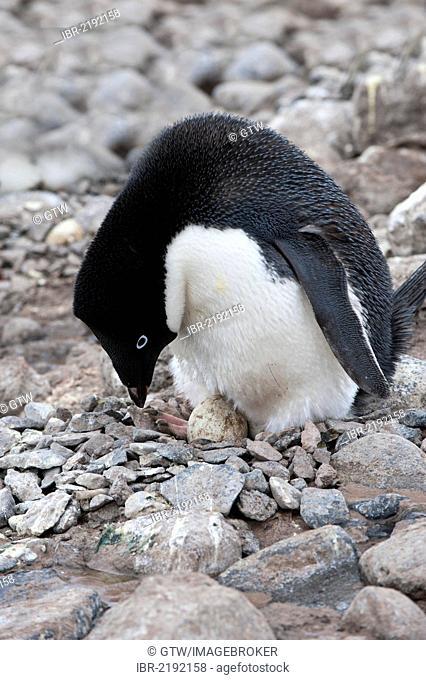 Adelie penguin (Pygoscelis adeliae) incubating an egg, Paulet Island, Erebus and Terror Gulf, Antarctic Peninsula, Antarctica