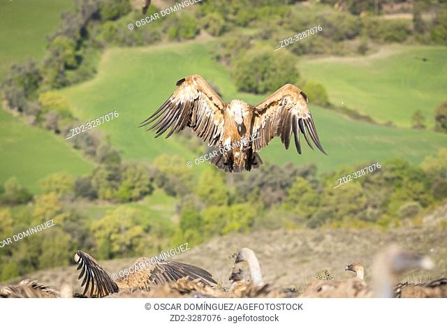 Griffon Vulture (Gyps fulvus) coming in to land on carcass in a rural area. Lleida province. Catalonia. Spain