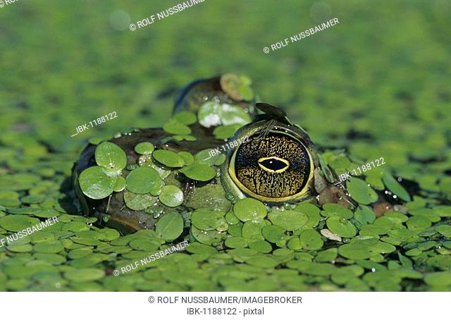 Bullfrog (Rana catesbeiana), adult in duckweed camouflaged, Sinton, Coastal Bend, Texas, USA