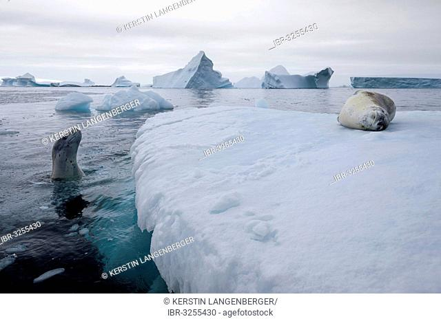 Leopard Seals (Hydrurga leptonyx), on an iceberg and swimming, asleep and curious