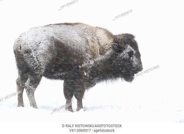 American Bison (Bison bison) in winter, covered with snow and ice during heavy snowfall, Yellowstone NP, Wyoming, USA