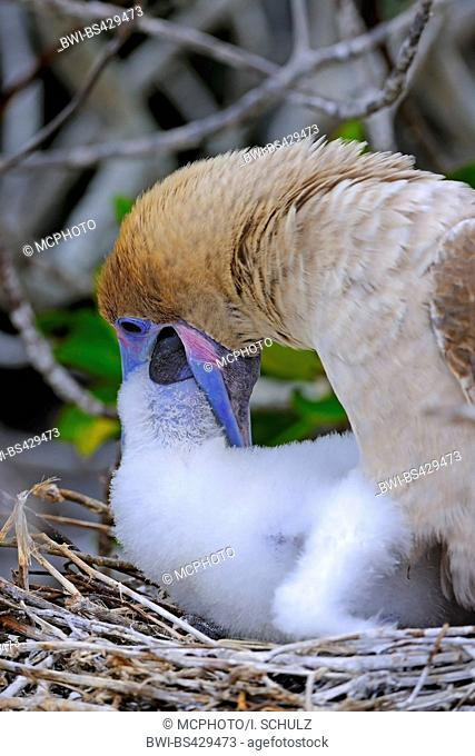 red-footed booby (Sula sula), brown form, feeding chick on the nest, Ecuador, Galapagos Islands, Genovesa
