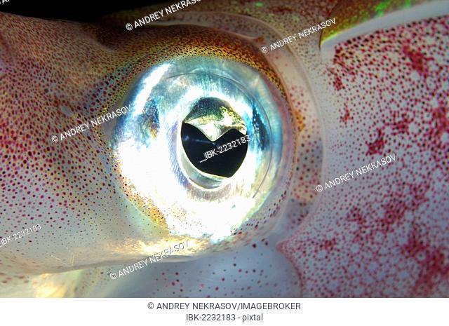 Eye of Bigfin reef squid (Sepioteuthis lessoniana), Red Sea, Egypt, Africa