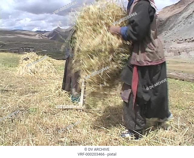 Farmers harvest crops in Tibet