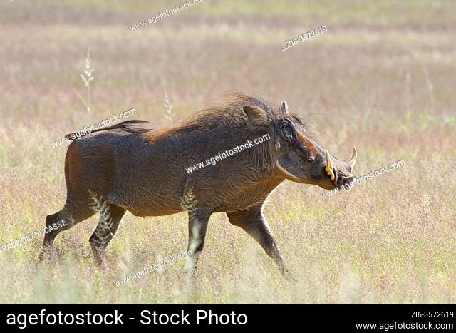 Common warthog (Phacochoerus africanus), adult male, walking through dry grassland, Kgalagadi Transfrontier Park, Northern Cape, South Africa, Africa