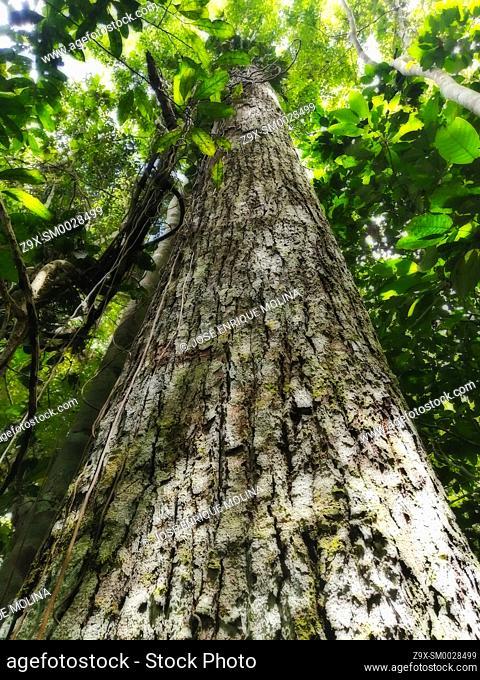 Amazonian rain forest.Tornillo tree (Cedrelinga catanaeformis), Peruvian jungle. Huanuco department, Perú, South America