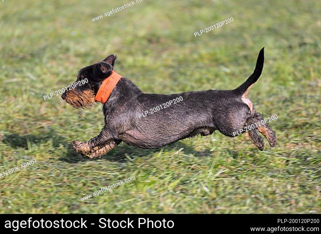Wire-haired dachshund / wirehaired dachshund, short-legged, long-bodied, hound-type dog breed running in garden