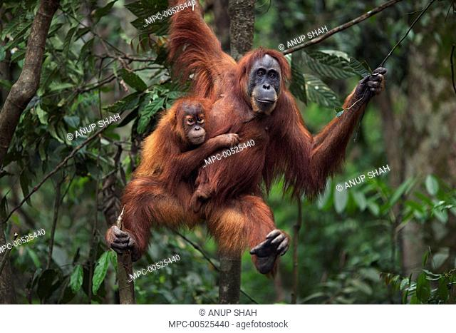 Sumatran Orangutan (Pongo abelii) twenty-four year old female, named Ratna, with female baby, named Global, hanging from branch, Gunung Leuser National Park